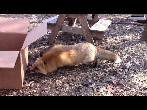 Fox on Box?