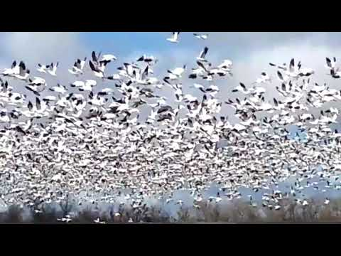 The Pacific Flyway Geese