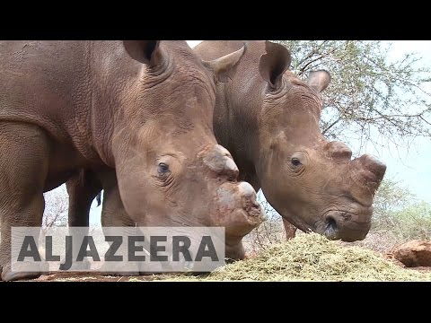 Swaziland push for legalising rhino horn trade