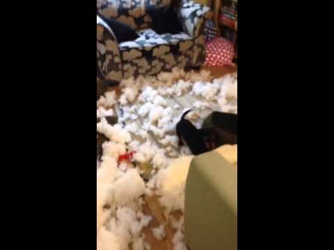 Bull terrier with sausage dog destroys  new sofa!!