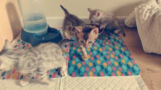 Bengal kittens 7 weeks old, Brown rosette , Silver rosette, Seal mink xxx