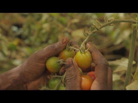 Senegal'in tarım sektöründe yaptığı dev yatırımlar - focus