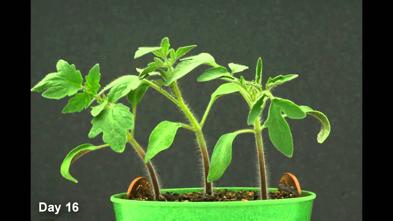 Time Lapse Tomato Plant Hd Youtube