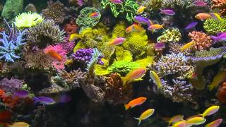 Tropical Reef Aquarium Filmed In HD with Natural Sound and Relaxing Music