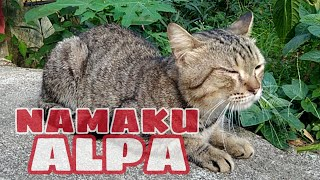 Video 😺KUCING PUISI - NAMAKU ALPA download MP3, 3GP, MP4, WEBM, AVI, FLV September 2019