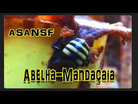 Abelha-Mandaçaia (Melipona mandacaia) Aprendendo sobre abelhas nativas sem ferrão 10