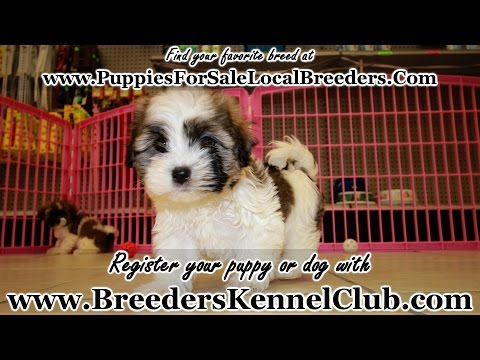Havanese, Puppies For Sale, In Mobile, County, Alabama, AL, 19Breeders, Tuscaloosa, Decatur