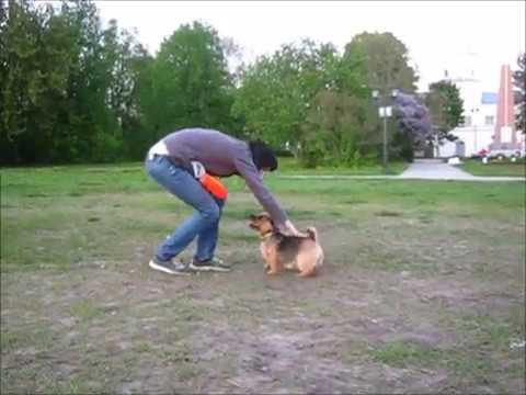 Norwich Terrier Bona - super frisbee dog :)