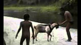 Download Video kambing VS kambing VS manusia MP3 3GP MP4