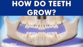 Cronología de la erupción dental - Cómo salen los dientes ©