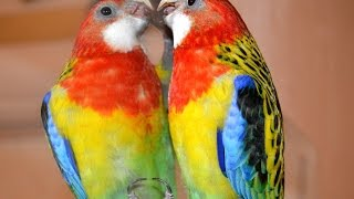 Попугай розелла | Rosella parrot