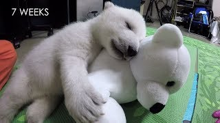 Nora the polar bear cub growing up