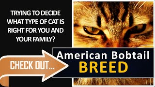 What type of cat is right for you? Check out the American Bobtail
