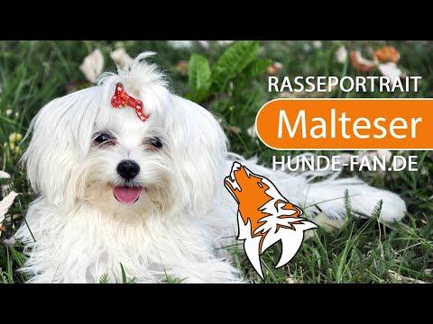 Malteser Hund [2019] Rasse, Aussehen & Charakter