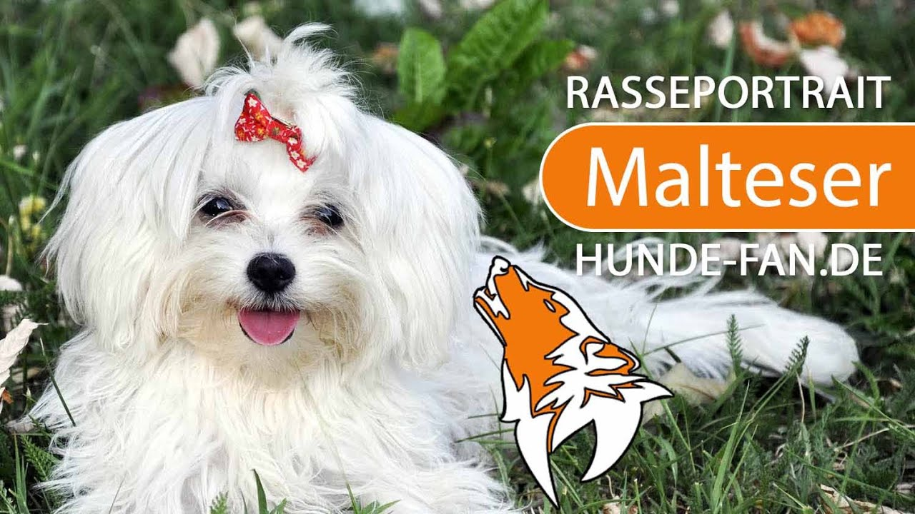 Malteser Hund 2019 Charakter Wesen Hunde Fan De