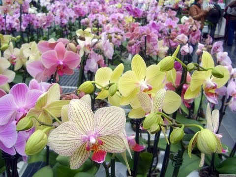 Названия сортов орхидей Часть 2 я