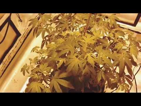 New Apollo 600 Watt HPS light and look and the cannabis garden( girl going to flower)