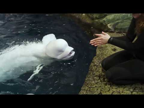 Caring For Beluga Whales