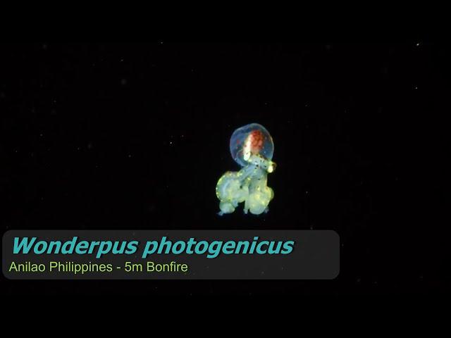 The Dark Ocean - Wonderpus and Soap Fish - Wildlife Documentary HD