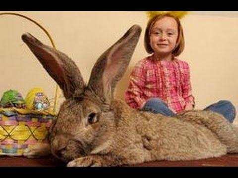 【動物おもしろ】ギネス級!世界一大きいウサギ! - YouTube