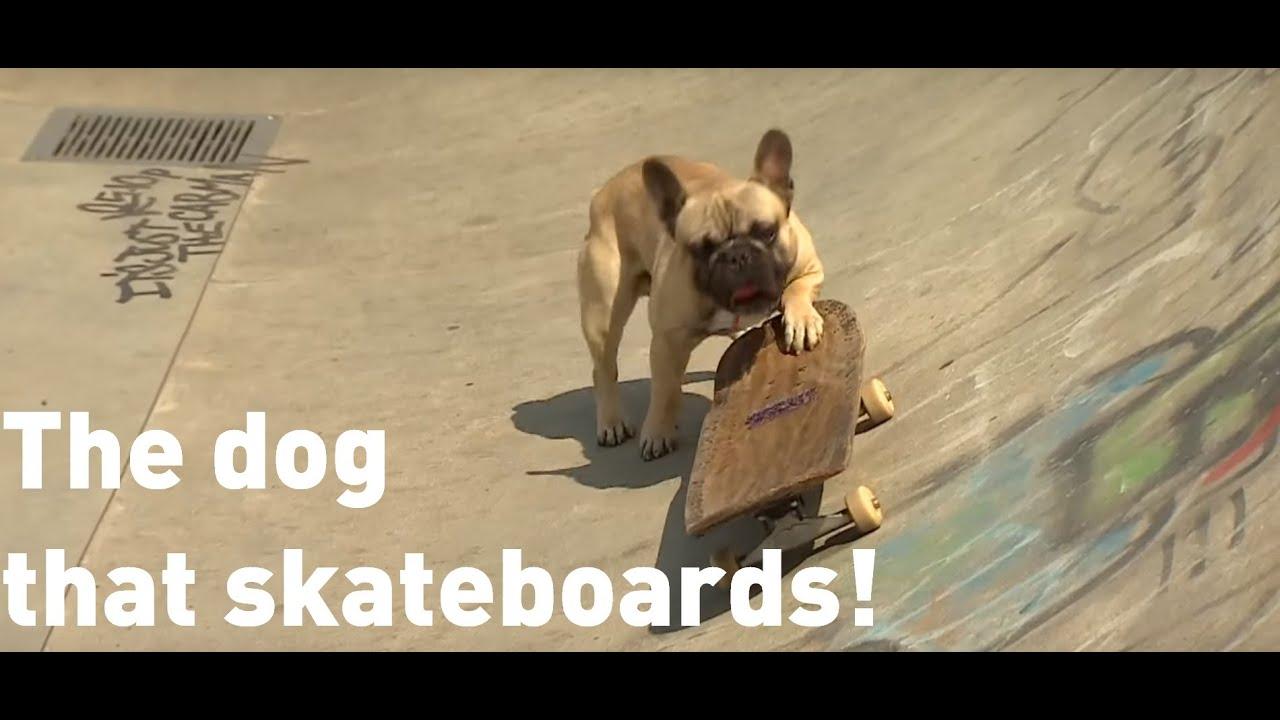 Skateboarding dog has become an internet sensation