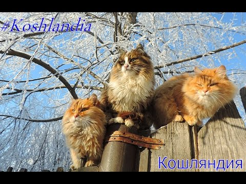 Thumbnail for Cat Video Siberian Farm Cats