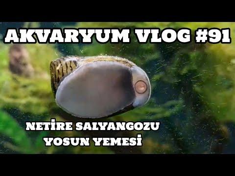 Hobihanem - Akvaryum Vlog #91 (Nerite Salyangozu Yosun Yemesi) [21.06.2017]