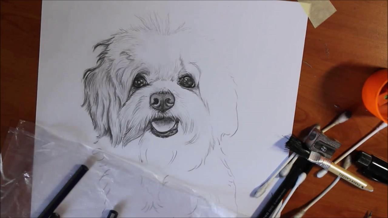 Maltese Whity Il Mio Cane Vive Con Me In Casa Pet Portrait