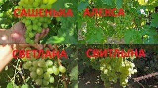 Виноград білий відгуки. Хороший виноград. Ч. 3