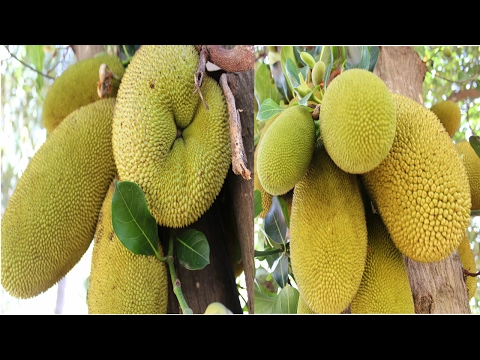 HOW TO PLUCK JACK FRUIT FROM TREE   HEALTHY VILLAGE FOOD