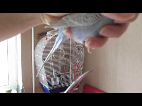 Как подстричь попугаю когти