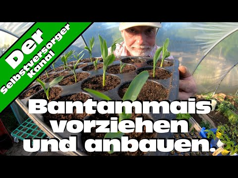 Bantammais Anzucht und Pflanzung