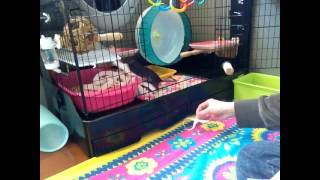 愛鼠ハピの日常です。