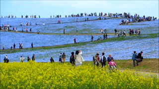 国営ひたち海浜公園ネモフィラの丘 ネモフィラの丘 検索動画 19