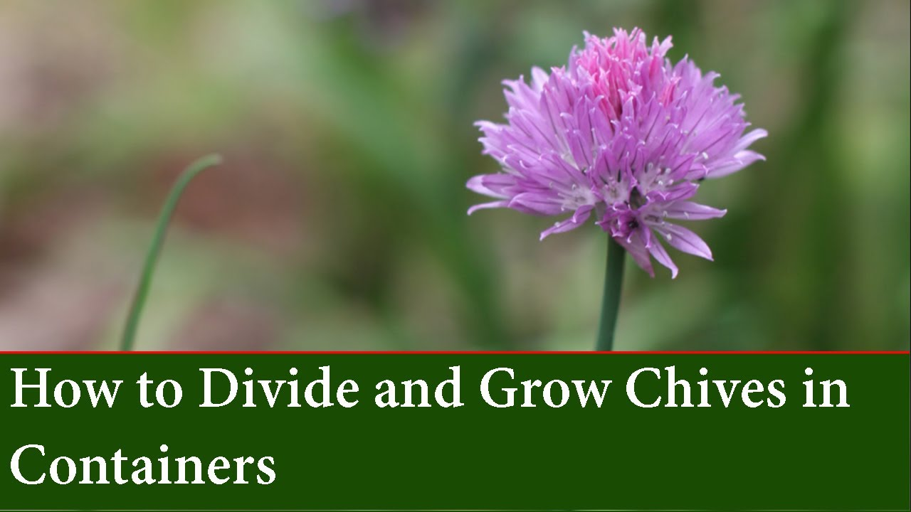 How To Propagate Chives By Division And Grow Chives In Containers Youtube