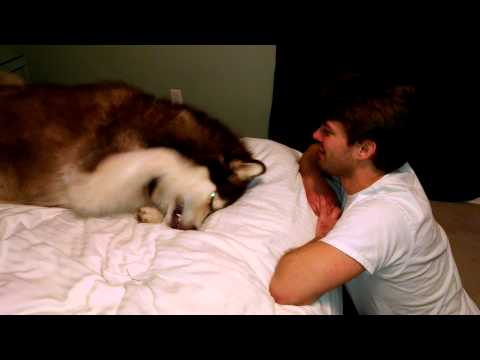 Drew gets dog slapped by Giant Alaskan Malamute.