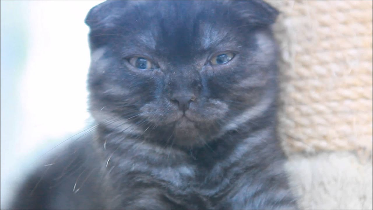 Black Smoke Scottish Fold Male Kitten 10 weeks old