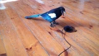 Шок! Смертельная схватка сороки с птицеедом! х)