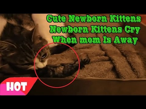 Newborn kittens -  Newborn kittens cry when mom is away -  Super Cute and Funny Kitten Moments #1