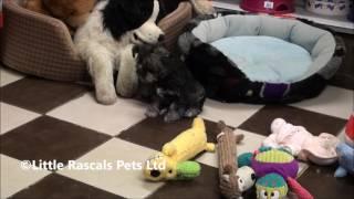 Little Rascals Uk Breeders New Litter Of Schnauzer Puppies