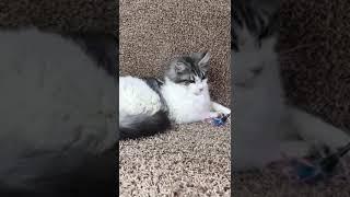 Черный тигровый серебристый биколор (ns23 03), кот Мейн-кун, 5 месяцев