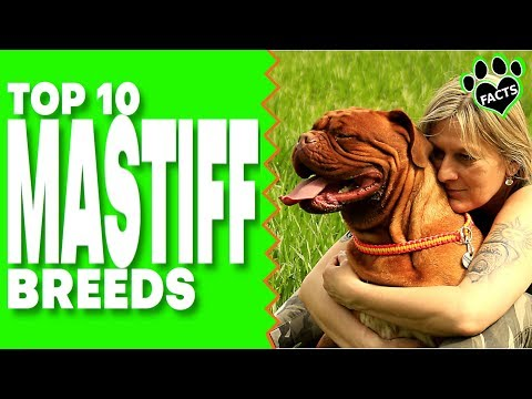 Top 10 Mastiff Dog Breeds THEY'RE HUGE!