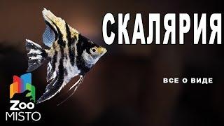 Скалярии - Все о виде рыбы | Вид рыбы скалярии