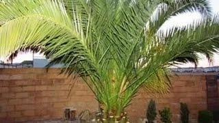 финиковая пальма в комнате пересадка подкормка нашатырным спиртом