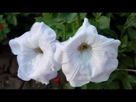БЕЛАЯ ПЕТУНИЯ (петунья цветение видео)