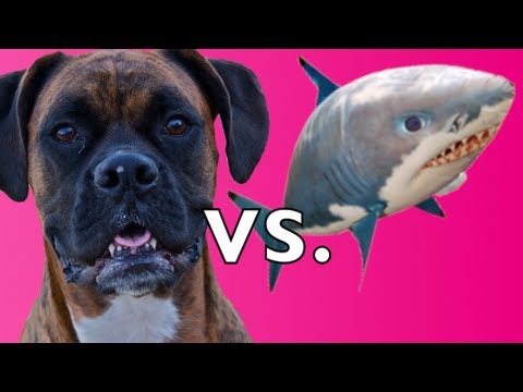 Brock the Boxer Dog vs. Air Swimmer SHARK!!!