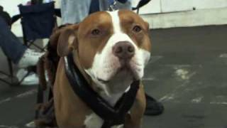 Pit Bulls - Documentary - Part1
