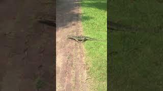 Lumpini Park Monitor Lizard