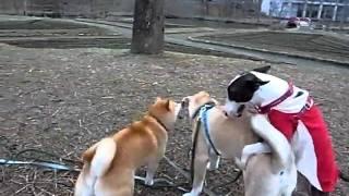 Mix犬クー(中央・♂)とブルテリアのごぶ(服着てる子・♂)が男子同士ラ...
