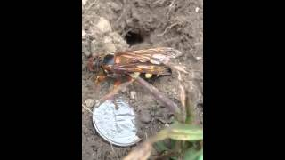 Biggest bee in the world